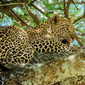 Leopard - After Lunch